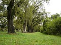 Oak & Spanish Moss Boone Hall Mt Pleasant SC - panoramio.jpg