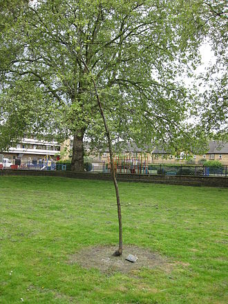 Sayes Court - Vandalised oak sapling, planted to mark the key role Octavia Hill and Sayes Court played in the formation of the National Trust.
