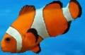 OcellarisClownfish.PNG
