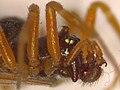 Oedothorax apicatus (37902318612).jpg