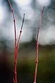 Of Bokeh and Twigs.jpg