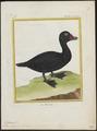 Oidemia nigra - 1700-1880 - Print - Iconographia Zoologica - Special Collections University of Amsterdam - UBA01 IZ17700129.tif