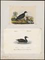 Oidemia nigra - 1700-1880 - Print - Iconographia Zoologica - Special Collections University of Amsterdam - UBA01 IZ17700135.tif