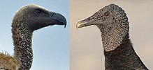 Old & New World vultures.jpg