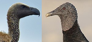 Vulture - A white-backed vulture (old world) and black vulture (new world)