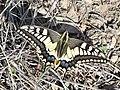 Old World Swallowtail (Papilio machaon).jpg