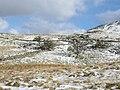 Old hawthorns - geograph.org.uk - 372137.jpg