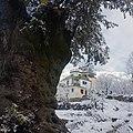 Old olive tree (Olea europaea) and Aleem house in Lajbouk (Lajbook) village, Lower Dir District, KPK, Pakistan.jpg