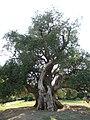 Old olive tree in Maslina Kaštela, Croatia.jpg