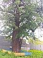 Old pear tree in Kyiv (May 2019) 3.jpg