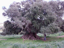 The millennial wild olive tree in Luras