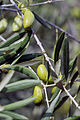 Olives (Lucques) Cl J Weber (23184158651).jpg