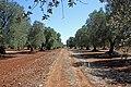 Olivi secolari - panoramio.jpg