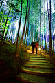 One of multiple pathways leading through Sagano Bamboo Forest. Arashiyama. Kyoto.jpg