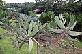Opuntia repens 0zz.jpg