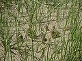 Opuntial polyacantha postfire (5808360274).jpg