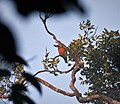 Orange-bellied Fruit Dove Ptilinopus iozonus, Kwatu Lodge, Western Province, PNG (48754631276).jpg
