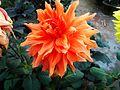Orange dahlia.jpg