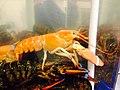 Orange lobster - panoramio.jpg