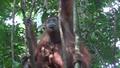 OrangutanInMladic2.png