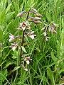 Orchid at Newport Wetlands (5) - geograph.org.uk - 1366558.jpg
