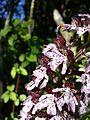 Orchis purpurea sl12.jpg