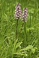 Orchis x hybrida LC0353.jpg