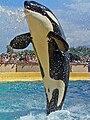 Orcinus orca 02.JPG