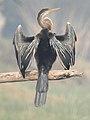 Oriental Darter Anhinga melanogaster by Dr. Raju Kasambe DSCN6918 (12).jpg