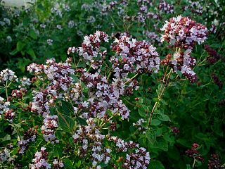 <i>Origanum</i> genus of plants
