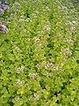 Origanum vulgare Aureum BotGardBln07122011A.JPG