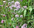 Origanum vulgare Wild Majoram თავშავა (2).JPG