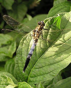 Orthetrum albistylum speciosum, Männchen