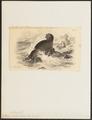 Otaria ursina - 1700-1880 - Print - Iconographia Zoologica - Special Collections University of Amsterdam - UBA01 IZ21100067.tif