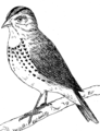 Ovenbird 1 (PSF).png