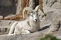 Ovis dalli at the Denver Zoo 2012 03 12 1037.jpg