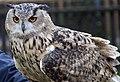 Owl5 (5086540209).jpg