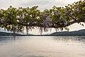 Pörtschach Johannes-Brahms-Promenade Wisteria 03052018 3131.jpg