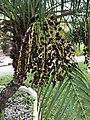 P. roebellenii ripe fruit.jpg