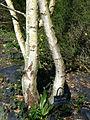 P1320139 Angers arboretum GA orpin blanc rwk.jpg