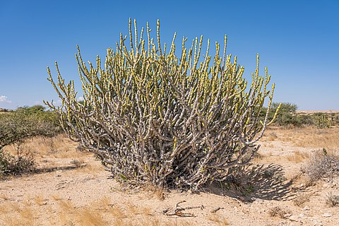 Euphorbia caducifolia in Kirthar National Park