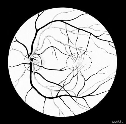 PSM V45 D216 Visual portion of the retina as seen by the ophtalmoscope.jpg