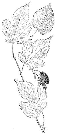 PSM V49 D821 Red mulberry leaves.jpg