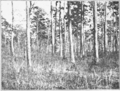 PSM V85 D353 Forest of short leaf pine near tallahassee florida.png