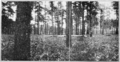 PSM V85 D357 Virgin forest of long leaf pine in georgia.png