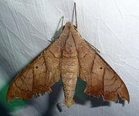 Pachylia darceta - Male (7420639022).jpg