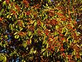 Pacific Madrone (Arbutus menziesii), Jacksonville Woods.jpg