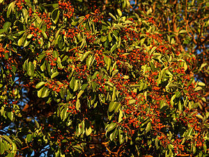 Arbutus menziesii - Fruits of Arbutus menziesii