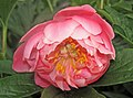 Paeonia sp. (Celina, Ohio, USA) 2 (19096657485).jpg