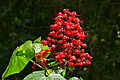 Pagoda Plant (Clerodendrum paniculatum) (22807322869).jpg